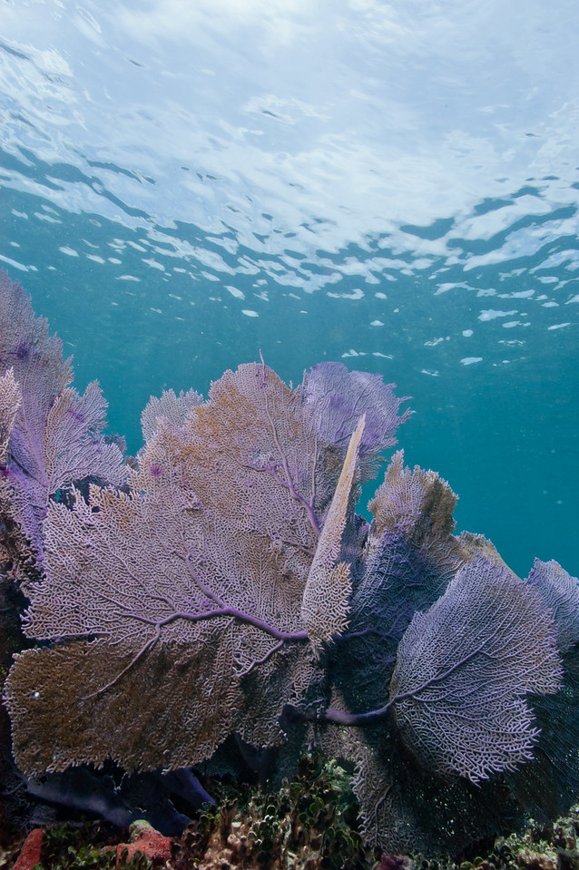 Purple sea fan