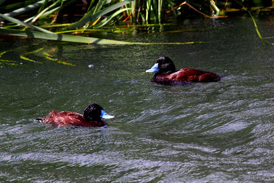 Blue-billed Ducks