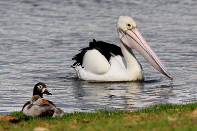 Australian Pelican and nesting Australian Shelduck