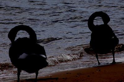 black swan silhouettes