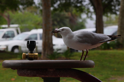 Silver Gull getting a drink at the park