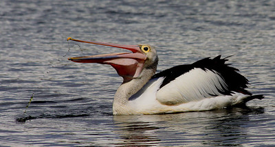 Australian Pelican - Perth