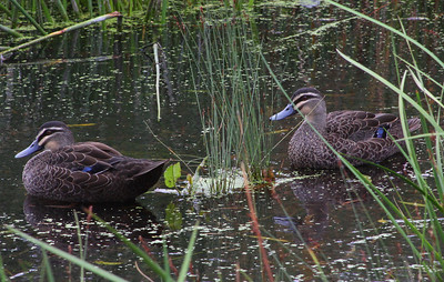 Pacific Black Duck pair