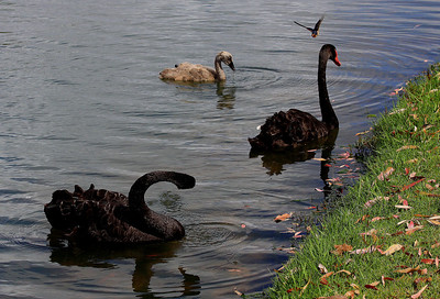 Black Swans with a flying welcome swallow