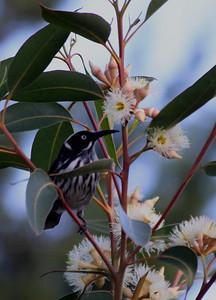 New Holland Honeyeater on eucalyptus