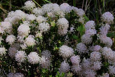 Pimelia (Thymeliaceae Family)
