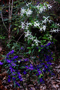 Common Clematis (Clematis pubescens) above and Hovea below