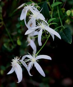 Common Clematis (Clematis pubescens)