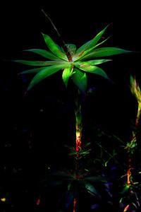tassel flower (Leucopogon verticillatus) altered