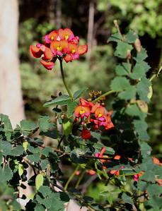 coral vine (Kennedia sp.)
