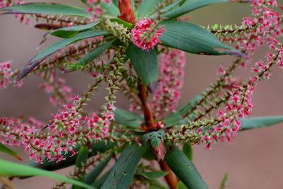 tassel flower (Leucopogon verticillatus)