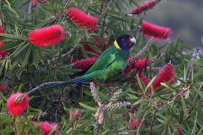 ringneck parrot in bottlebrush tree