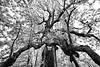 Historic Washington Magnolia - Old Washington State Park - Arkansas