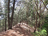 Kuliouou Ridge Trail runs through a dry-land forest made up predominently of ironwood trees and Norfok pines
