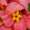 Queen Kapiolani Park Flower