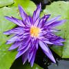 HAA Flower-2