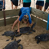 Hawaiian Green Sea Turtles-6
