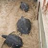 Hawaiian Green Sea Turtles-9