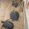 Hawaiian Green Sea Turtles-9
