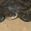 Hawaiian Green Sea Turtles-12