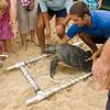 Hawaiian Green Sea Turtles-17