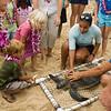 Hawaiian Green Sea Turtles-18