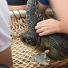 Hawaiian Green Sea Turtles-16