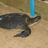 Hawaiian Green Sea Turtles-11