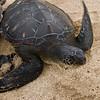 Hawaiian Green Sea Turtles-7