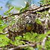 Verdin coming out of the nest Verdin