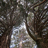 Looking up into the Redwoods in Los Rios Rancho nature trails in Oak Glen