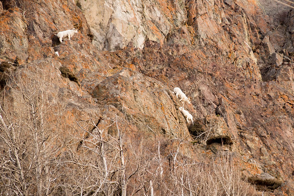 Dall Sheep on the cliffs above the Beluga Point turnout south of Anchorage.
