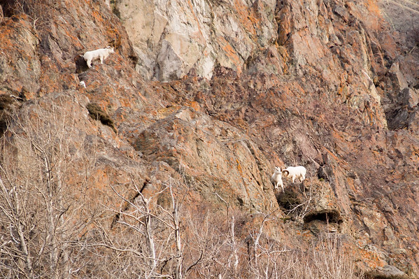 A Dall Sheep ewe nudges her lamb on the cliffs above the Beluga Point turnout south of Anchorage.