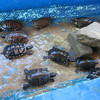 There Are Specimens Of Seven Of Mexico's Turtle Species