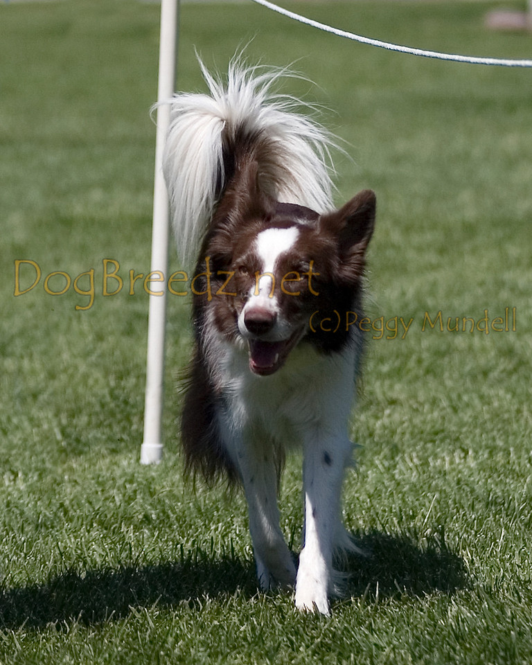 Border Collie.  The All Breed Obedience Club, Inc hosted a UKC Obedience Trial in Escondido, CA in April 2012.  This gallery is from the second show on Saturday May 7.  Judged by Jill Perry.