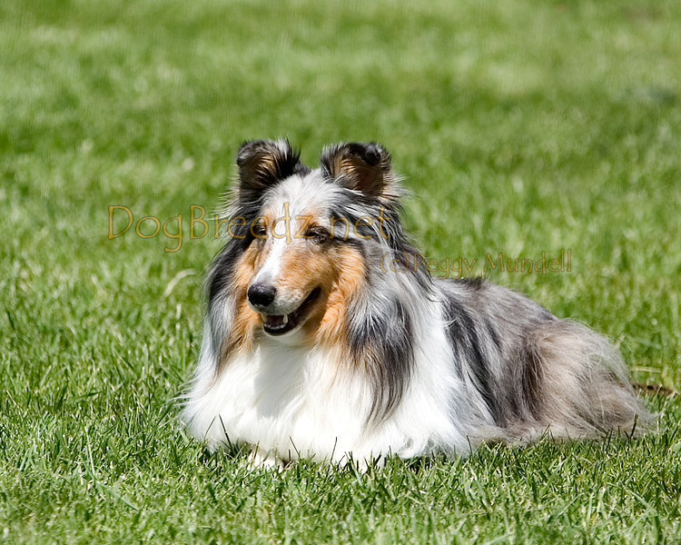 Shetland Sheepdog.  The All Breed Obedience Club, Inc hosted a UKC Obedience Trial in Escondido, CA in April 2012.  This gallery is from the second show on Saturday May 7.  Judged by Jill Perry.