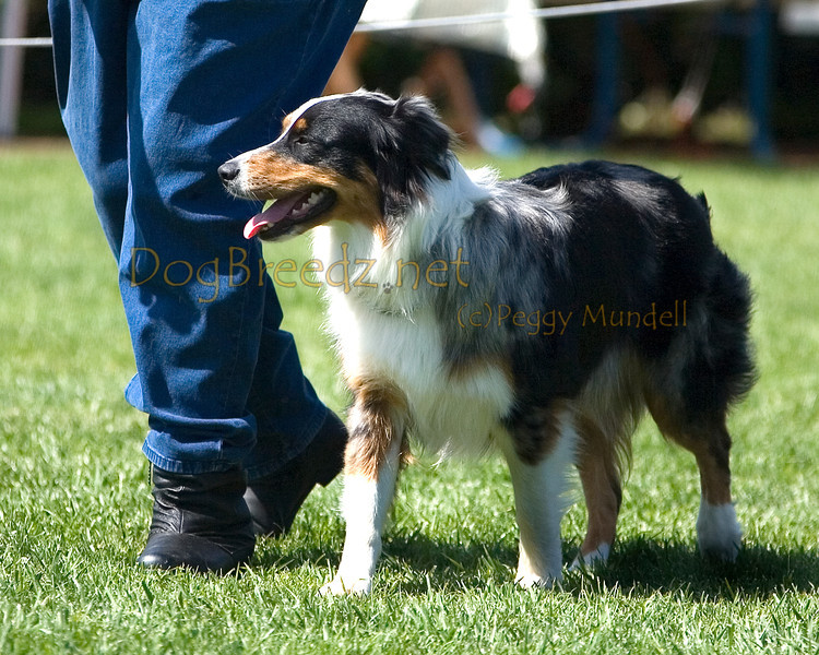 Australian Shepherd.  The All Breed Obedience Club, Inc hosted a UKC Obedience Trial in Escondido, CA in April 2012.  This gallery is from the second show on Saturday May 7.  Judged by Jill Perry.