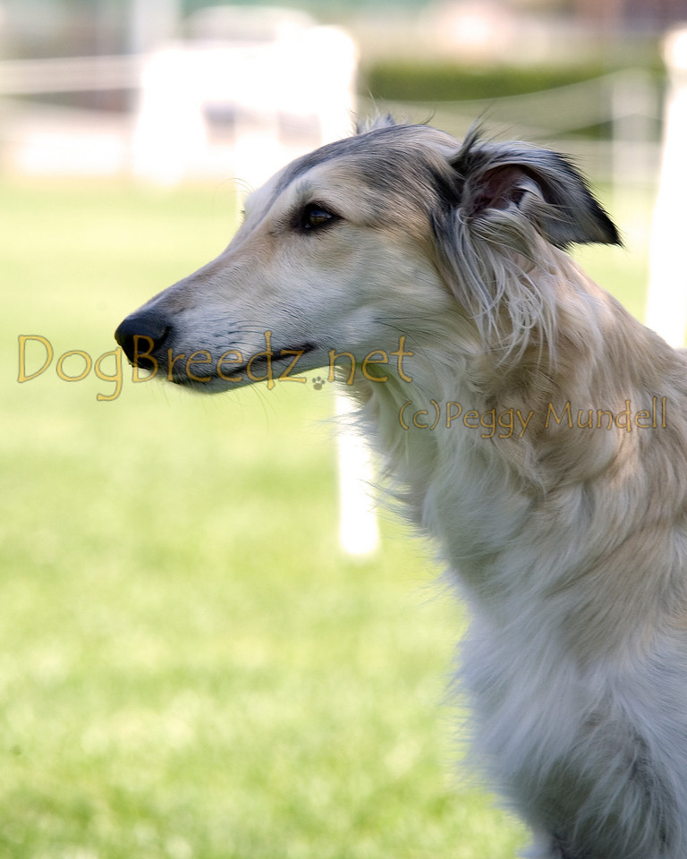 Silky Windhound. The All Breed Obedience Club, Inc hosted a UKC Obedience Trial in Escondido, CA in April 2012.  This gallery is from the second show on Saturday May 7.  Judged by Jill Perry.