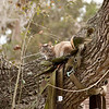 Cat in tree-saddle_SS9639