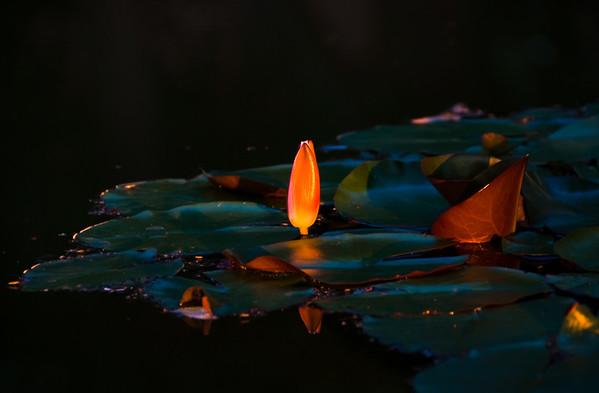 Flower on pond