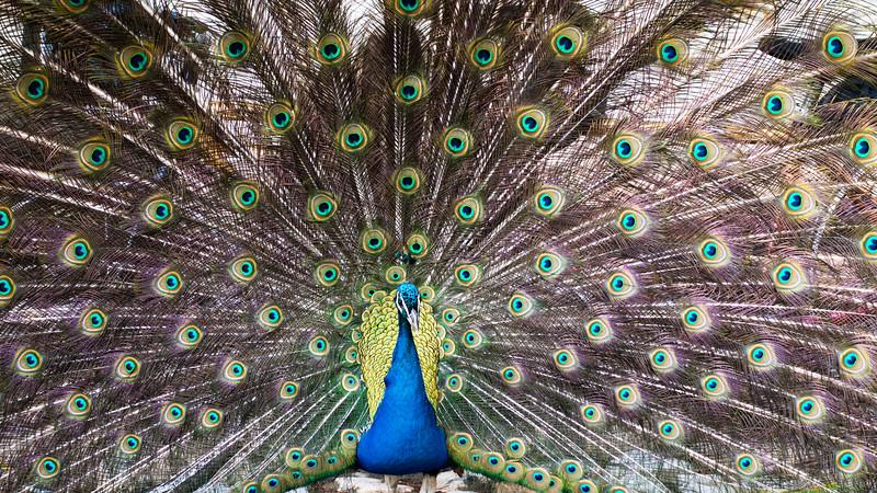 Monastery Peacock