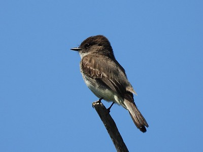 Eastern Phoebe - male , in Area 3 (Photo by Don McLeod)