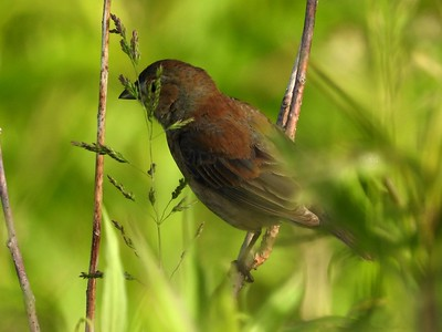Indigo Bunting - female , in Area 3 (Photo by Don McLeod)