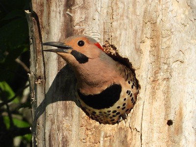 Northern Flicker (male) - tree cavity nest (Photo by Don McLeod)