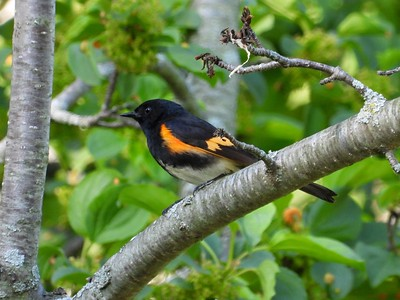 American Redstart - male , in Area 3 (Photo by Don McLeod)