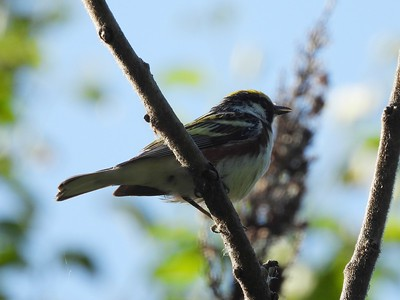 Chestnut-sided Warbler - male , in Area 3 (Photo by Don McLeod)