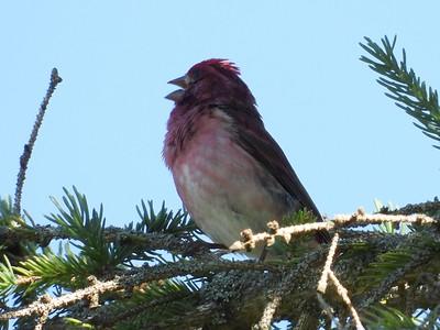 Purple Finch (Photo by Don McLeod)