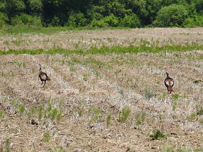 Wild Turkey , in Area 3 (Photo by Don McLeod)