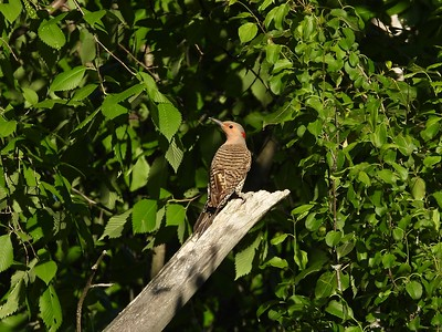 Northern Flicker (female) (Photo by Don McLeod)