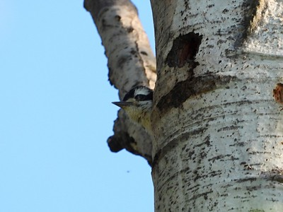 Hairy Woodpecker - juvenile poking head out of tree cavity nest (Photo by Don McLeod)